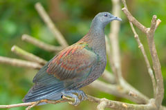 Pale-capped Pigeon Royalty Free Stock Photo