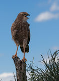 Pale Chanting gohawk juvenile. A juvenile pale chanting goshawk chanting Royalty Free Stock Photos