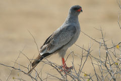 Pale Chanting Goshawk. Bird sitting on branch, brown background, picture taken in Namibia stock images