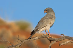 Pale Chanting Goshawk Stock Photos