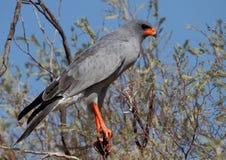 Pale Chanting Goshawk. Photographed in the Kalahari Stock Images