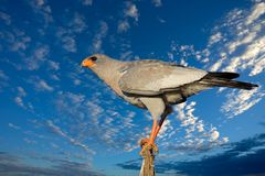 Pale Chanting goshawk. (Melierax canorus) against a blue sky with clouds, South Africa Royalty Free Stock Photography