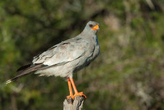 Pale chanting goshawk Royalty Free Stock Photography