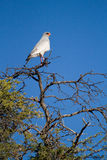 Pale chanting goshawk Stock Image