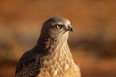 Pale Chanting goshawk. Immature Pale Chanting goshawk (Melierax canorus), Kalahari desert, South Africa Stock Photo