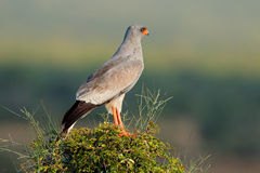 Pale Chanting-goshawk Royalty-vrije Stock Foto