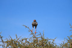 Pale chanting goshawk from Addo Elephant National Park, South Af Royalty Free Stock Photography