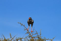 Pale chanting goshawk from Addo Elephant National Park, South Af Royalty Free Stock Photos