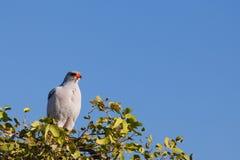 Pale Chanting Goshawk. Africa. Namibia. Bird of prey. Pale Chanting Goshawk. Melierax canorus. Africa, Namibia Stock Images