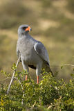 Pale chanting goshawk in attack mode Royalty Free Stock Photos