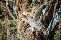 Pale-chanting goshawk on a branch. Royalty Free Stock Photos