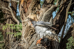 Pale-chanting goshawk on a branch. Stock Images