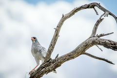 Pale chanting goshawk in a dead tree. Royalty Free Stock Photos