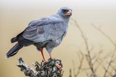 Pale Chanting Goshawk do sul (canorus) de Melierax, África do Sul Imagem de Stock Royalty Free