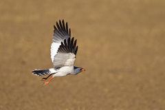 Pale Chanting Goshawk en vol Photographie stock