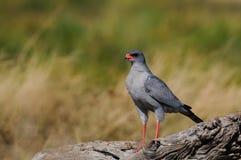 Pale chanting goshawk, etoaha nationalpark, namibia. Pale chanting goshawk sit on the wood, etosha nationalpark, namibia, melierax canorus Stock Photos