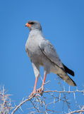 Pale Chanting Goshawk Stock Images