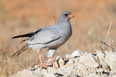 Pale Chanting Goshawk feeding on red sand dune among dry grass i. N the Kalahari (Melierax canorus Stock Images