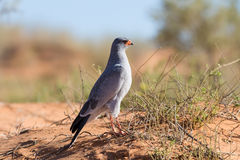 Pale Chanting Goshawk feeding on red sand dune among dry grass i. N the Kalahari (Melierax canorus Stock Photos