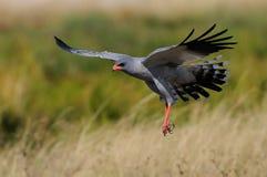Pale chanting goshawk is flying, etoaha nationalpark, namibia. Pale chanting goshawk is flying, etosha nationalpark, namibia, melierax canorus Stock Photo