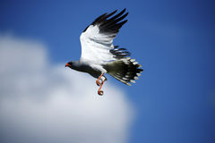 Pale Chanting Goshawk Flying Royalty Free Stock Photos