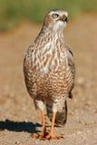 Pale Chanting Goshawk. Immature Pale Chanting Goshawk (Melierax canorus), Etosha National Park, Namibia Royalty Free Stock Image