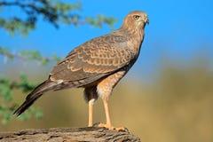 Pale Chanting goshawk. Immature Pale Chanting goshawk (Melierax canorus), Kalahari desert, South Africa Royalty Free Stock Image