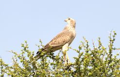 Pale Chanting Goshawk, Kalahari fotografie stock libere da diritti