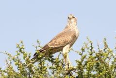 Pale Chanting Goshawk, Kalahari immagini stock libere da diritti