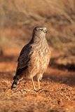 Pale chanting goshawk - Kalahari desert. Immature Pale chanting goshawk Melierax canorus, Kalahari desert, South Africa Royalty Free Stock Photos
