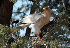 Pale Chanting Goshawk. Kalahari region of South Africa Stock Images
