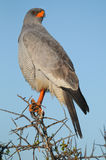 Pale Chanting Goshawk. A Pale Chanting Goshawk ( Melierax canorus ) clasps a thorn tree in Addo Elephant National Park in the Eastern Cape province of South Stock Photo