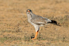 Pale Chanting goshawk. (Melierax canorus) with lizard catch, South Africa Royalty Free Stock Images