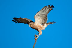 Pale Chanting goshawk. (Melierax canorus) with open wings, Kalahari desert, South Africa Stock Image