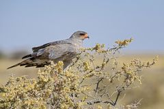 Pale Chanting-goshawk - Melierax canorus. Beautiful gray bird of prey from African savannas and bushes, Etosha National Park, Namibia stock images