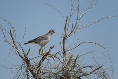 Pale Chanting-goshawk - Melierax canorus. Beautiful gray bird of prey from African savannas and bushes, Etosha National Park, Namibia royalty free stock image