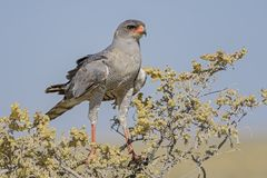 Pale Chanting-goshawk - Melierax canorus. Beautiful gray bird of prey from African savannas and bushes, Etosha National Park, Namibia royalty free stock photo