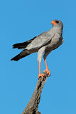 Pale Chanting goshawk. (Melierax canorus) perched on a branch, Kalahari desert, South Africa Royalty Free Stock Photography