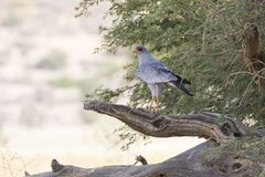 Pale Chanting Goshawk,  Melierax canorus, perched on branch, Kgalagadi Transfrontier Park. Northern Cape, Kalahari, South Africa stock photos