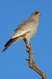 Pale Chanting goshawk. (Melierax canorus) perched on a branch, South Africa Royalty Free Stock Photography