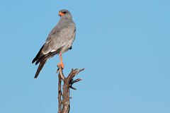 Pale Chanting goshawk. (Melierax canorus) perched on a branch, South Africa Royalty Free Stock Photos