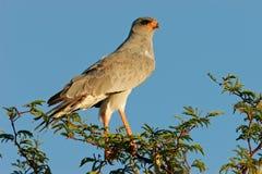 Pale Chanting goshawk. (Melierax canorus) perched on a tree, Kalahari desert, South Africa Stock Photo