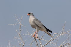 Pale chanting-goshawk, Melierax canorus Stock Photo