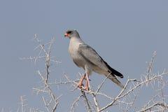 Pale chanting-goshawk, Melierax canorus. Single bird on branch, South Africa, August 2016 Stock Photo