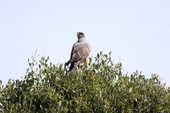 Pale chanting goshawk, Melierax canorus, on a tree in the Etosha National Park, Namibia stock image