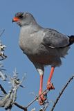 Pale chanting goshawk, Namibia Stock Photos