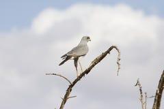 Pale Chanting Goshawk oriental fotografia de stock