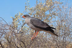 Pale Chanting Goshawk perched. Pale Chanting Goshawk (Melierax canorus) perched in a dead bush against a blurred natural background, Kalahari Desert, South Stock Photos
