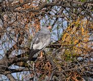 Pale Chanting Goshawk. A Pale Chanting Goshawk perched in a tree in Southern Africa royalty free stock image