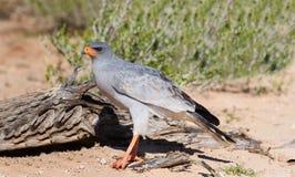 Pale Chanting Goshawk que alimenta na duna de areia vermelha entre a grama seca me Imagens de Stock Royalty Free